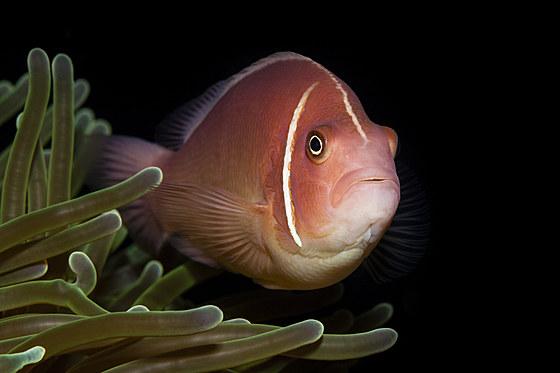 Halsband-Anemonenfisch / Pink Anemonefish / Amphiprion perideraion