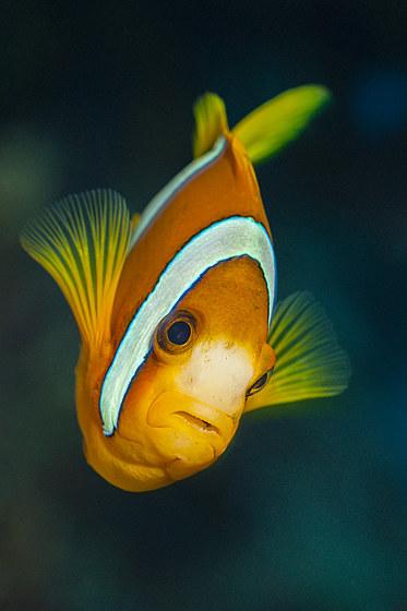 Clarks Anemonenfisch / Clarks Anemonenfish / Amphiprion clarkii