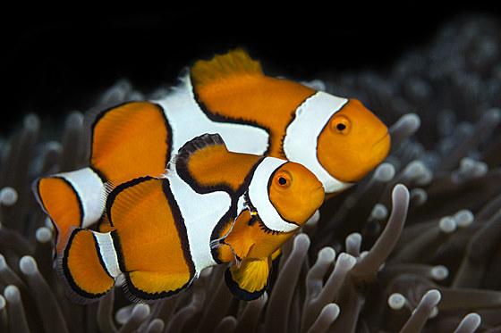 Paar Echte Clown-Anemonenfische / Pair of Clown Anemonefish / Amphiprion percula