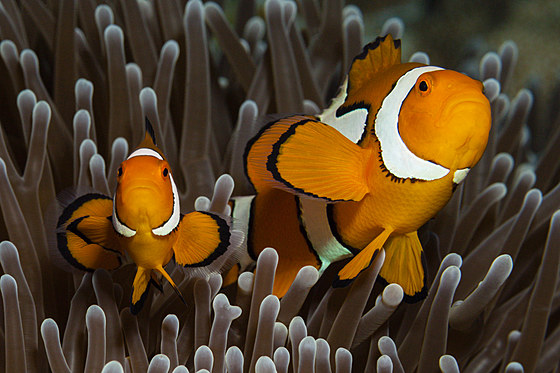 Paar Echte Clown-Anemonenfische / Pair of Clown Anemonefish / Amphiprion percula