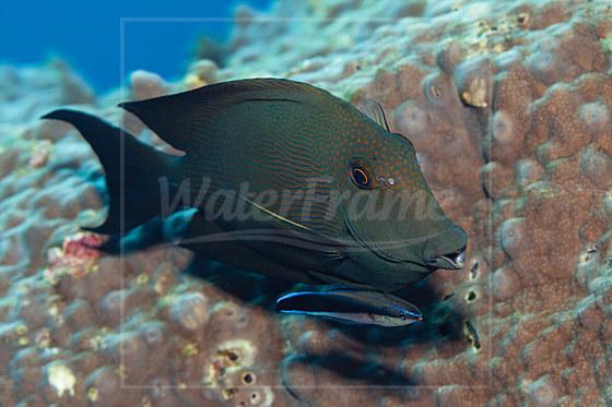 Brauner Borstenzahn-Doktorfisch wird von Putzerfisch geputzt / Striped Bristletooth cleaned by Cleaner Wrasse / Ctenochaetus striatus Labroides dimidiatus