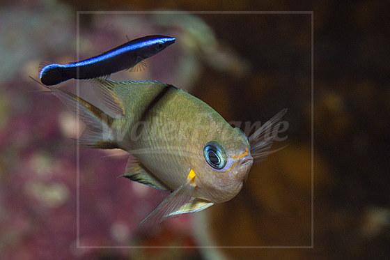 Ambon Chromis wird von Putzerfisch geputzt / Ambon Chromis cleaned by Cleaner Wrasse / Chromis amboinensis Labroides dimidiatus