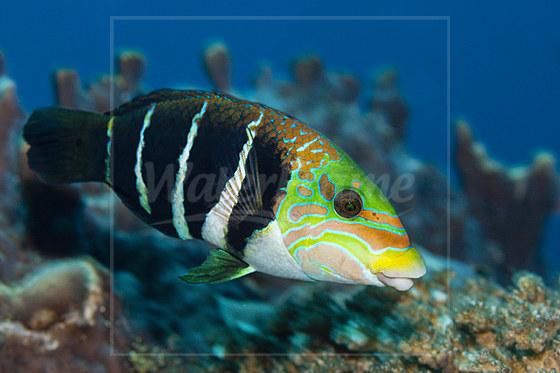 Streifen-Bannerlippfisch / Banded Thicklip / Hemigymnus fasciatus
