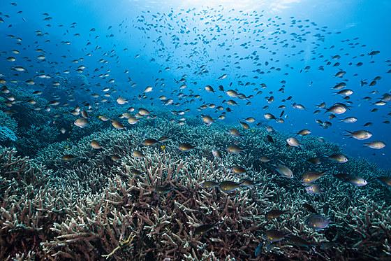 Schwarm Ambon Chromis ueber Korallenriff / Schooling Ambon Chromis over Coral Reef / Chromis amboinensis