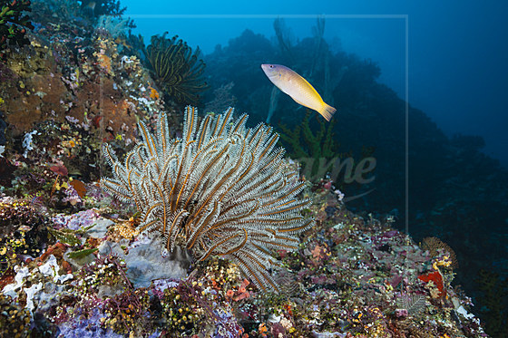 Prachthaarstern am Riff / Crinoid in Coral Reef / Comantheria sp.