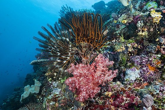 Haarsterne am Riff / Crinoid in Coral Reef / Comantheria sp.