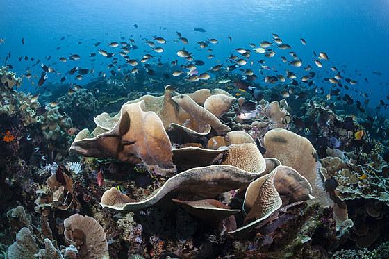 Platten-Salatkoralle / Lettuce Coral / Turbinaria mesenterina