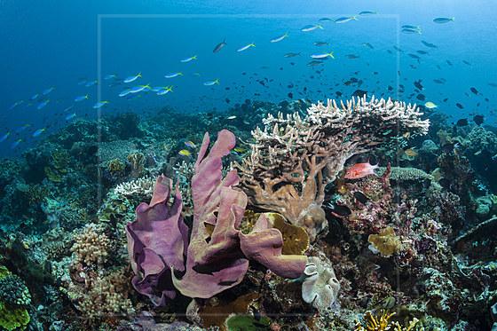 Elefantenohr-Schwamm im Riff / Elephant Ear Sponge in Coral Reef / Ianthella basta