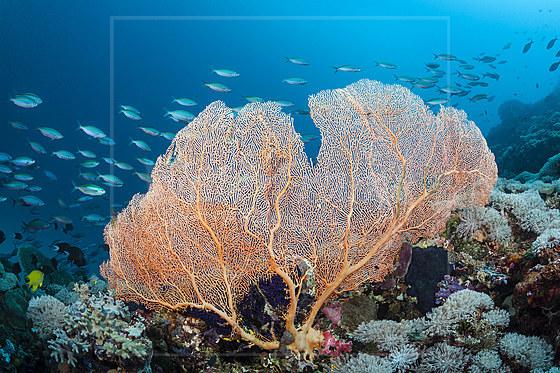 Riesenfaecher im Riff / Great Seafan / Annella mollis