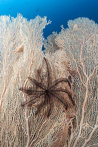 Schwarzer Federstern auf Gorgonie / Black Crinoid on Seafan / Comantheria sp.