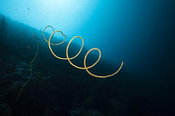 Korkenzieher-Koralle / Spiral Wire Coral / Stichopathes sp.