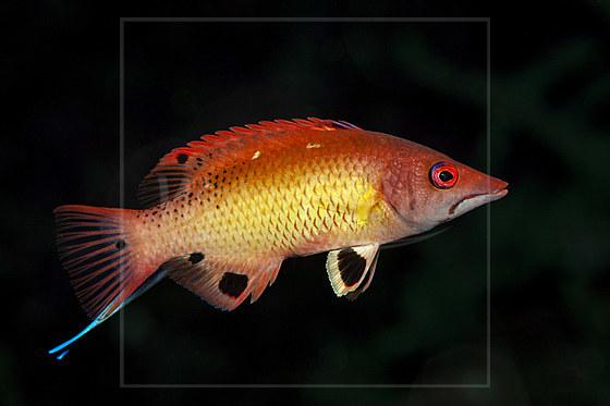 Diana-Schweinslippfisch / Dianas Hogfish / Bodianus diana