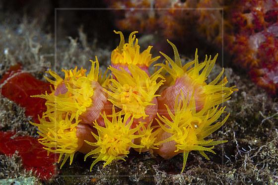 Orange Kelchkorallen / Orange Cup Corals / Tubastrea coccinea