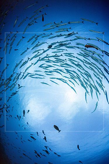 Schwarm Dunkelflossen-Barrakudas / Shoal of Blackfin Barracuda / Sphyraena qenie