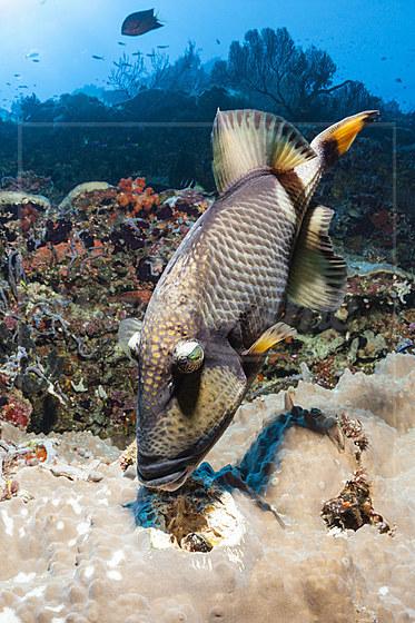 Gruener Riesendrueckerfisch knabbert an Muschel / TitanTriggerfish feeding on Clam / Balistoides viridescens