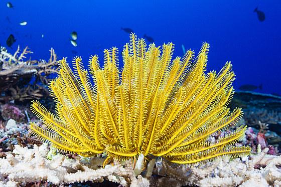 Gelber Prachthaarstern am Riff / Yellow Crinoid in Coral Reef / Comanthina schlegeli