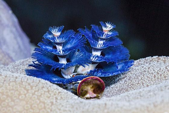 Blauer Sprialroehrenwurm / Blue Christmas-Tree Worm / Spirobranchus giganteus
