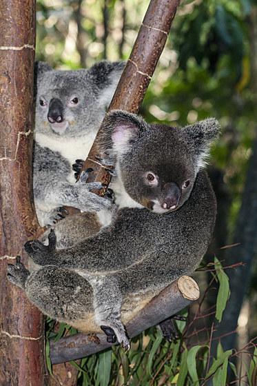 Koala / Koala / Phascolarctos cinereus