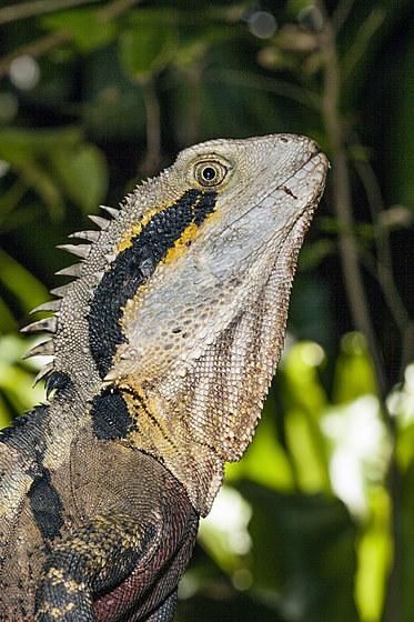 Australische Wasseragame / Eastern Australian Water Dragon / Physignathus lesueurii lesueurii
