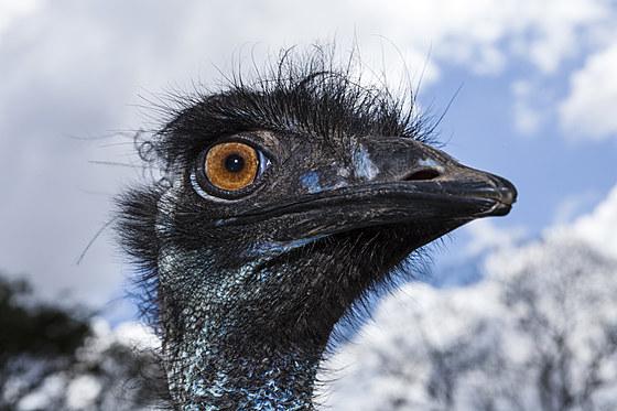 Grosser Emu / Head of Emu / Dromaius novaehollandiae