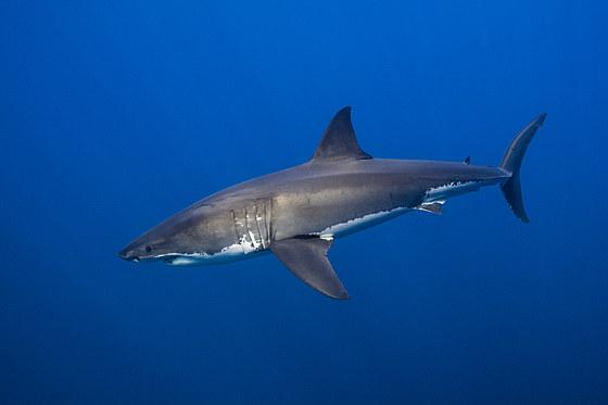 Grosser Weisser Hai / Great White Shark / Carcharodon carcharias