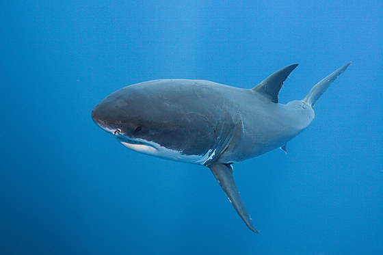Grosser Weisser Hai / Great White Shark / Carcharodon carcharias