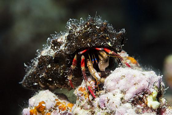Einsiedlerkrebs / Hermit Crab / Calcinus morgani