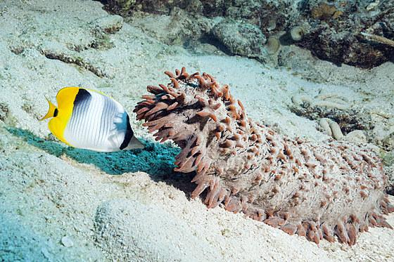 Doppelsattel-Falterfisch fressen Laich von Seegurke / Double-saddle Butterflyfish feeding on Seqa Cucumber Spawn / Chaetodon ulietensis