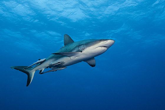 Grauer Riffhai / Grey Reef Shark / Carcharhinus amblyrhynchos