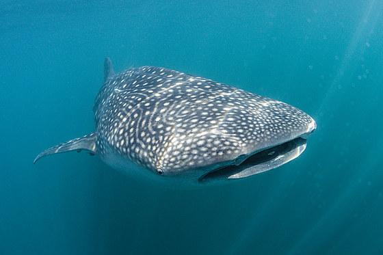 Walhai / Whale Shark / Rhincodon typus