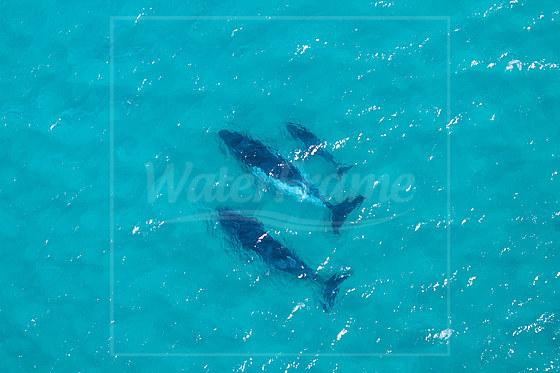 Buckelwale vor Moreton Island / Humpback Whales near Moreton Island