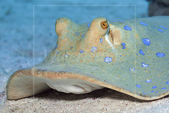 Blaupunkt-Stechrochen / Bluespotted Ribbontail Ray / Taeniura lymma