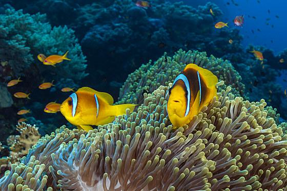 Rotmeer-Anemonenfisch / Twobar Anemonefish / Amphiprion bicinctus