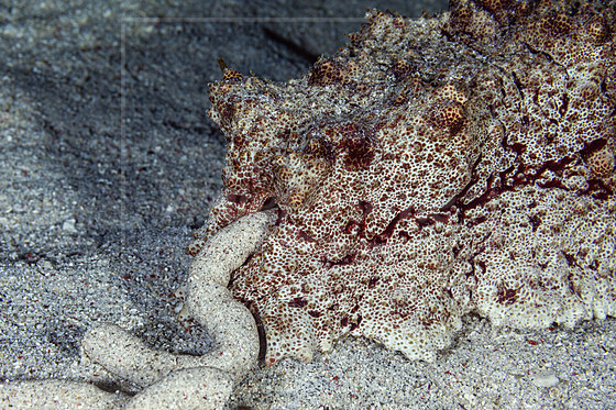 Kasten-Seegurke scheidet Sand aus / Faeces of Anax Sea Cucumber / Thelenota anax