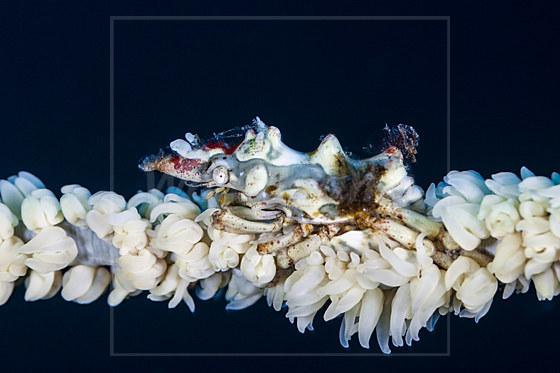 Drahtkorallen-Spinnenkrabbe / Wire Coral Crab / Xenocarcinus tuberculatus