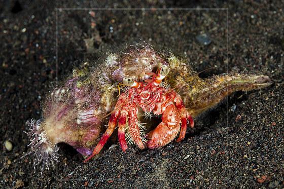 Anemonen-Einsiedlerkrebs / Anemone Hermit Crab / Dardanus pedunculatus