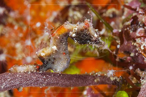 Pontohi Zwergseepferdchen / Pontohi Pygmy Seahorse / Hippocampus pontohi