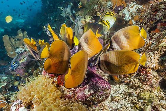 Falterfische fressen Fischlaich / Butterflyfishes feeding on Fish Spawn / Chaetodon kleinii