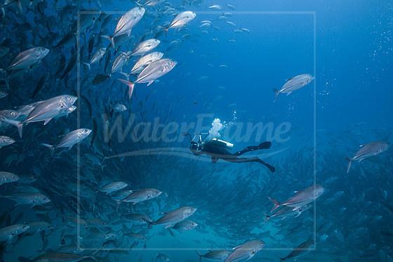 Taucher und Schwarm Grossaugen-Stachelmakrelen / Diver and Shoal of Bigeye Trevally / Caranx sexfasciatus