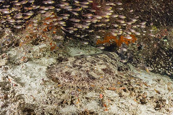 Fransen-Wobbegong / Tasselled Wobbegong / Eucrossorhinus dasypogon