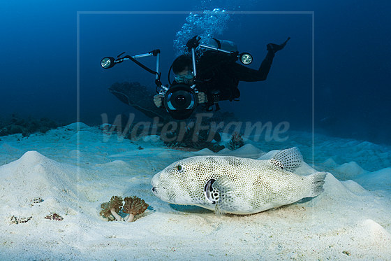 Taucher fotografiert Riesen-Kugelfisch / Diver taking images of Star Puffer / Arothron stellatus