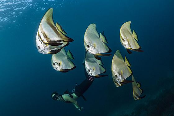 Freitaucher und Langflossen-Fledermausfische / Apnoe diver and Longfin Batfish / Platax teira