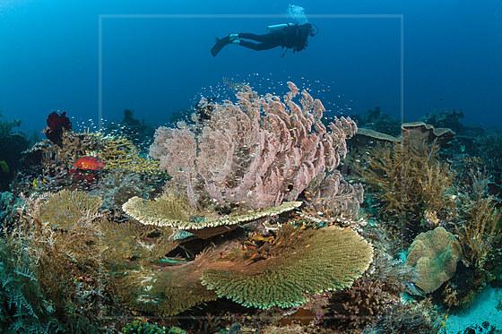 Taucher ueber Korallenriff / Scuba Diver over Coral Reef