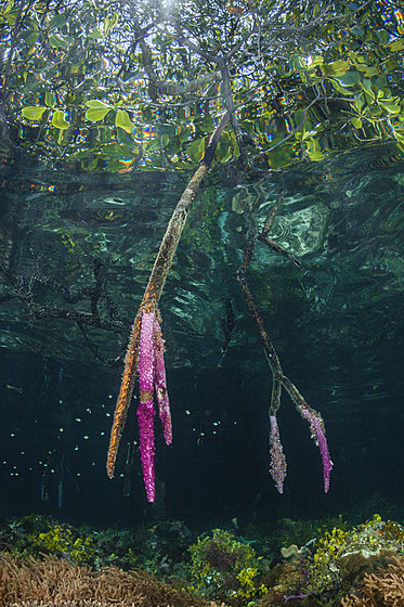 Mangroven in The Passage / Mangroves in The Passage