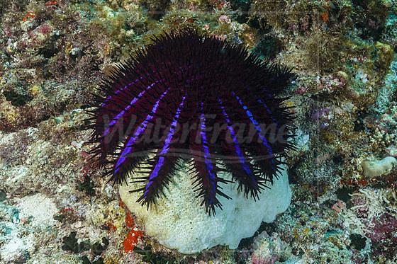 Dornenkrone / Crown-of-Thorns Starfish / Acanthaster planci