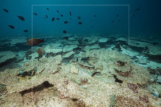 Korallenbleiche auf Riffdach / Bleached Corals on Reef Top