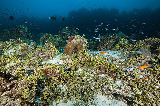 Algen ueberwuchen gebleichtes Riff / Halimeda Algae covering bleached Coral Reef / Halimeda copiosa