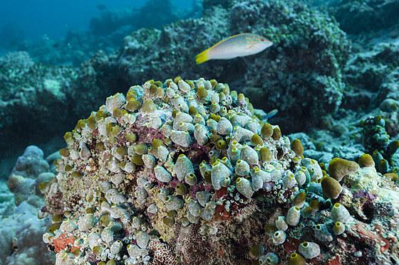 Gruene Riffseescheiden / Green Reef Didemnum / Didemnum molle