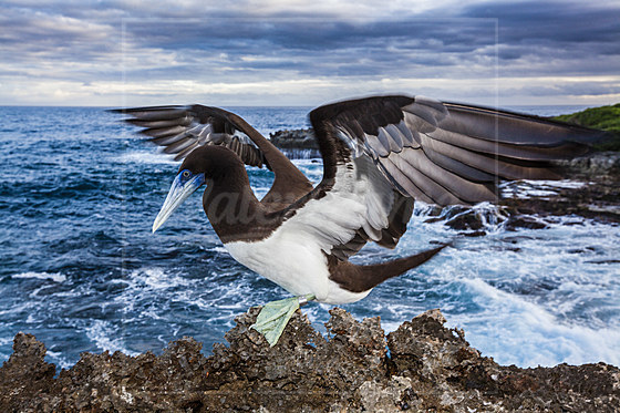 Toelpel bei Lily Beach / Brown Booby at Lily Beach / Sula leucogaster