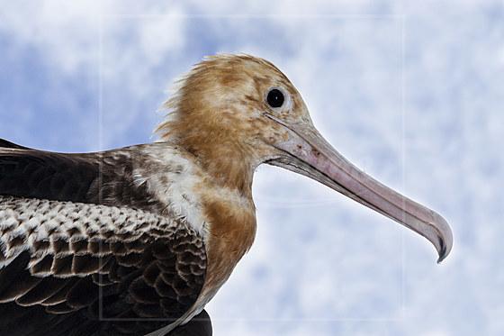 Junger Weissbauch-Fregattvogel / Juvenile Christmas Frigatebird / Fregata andrewsi